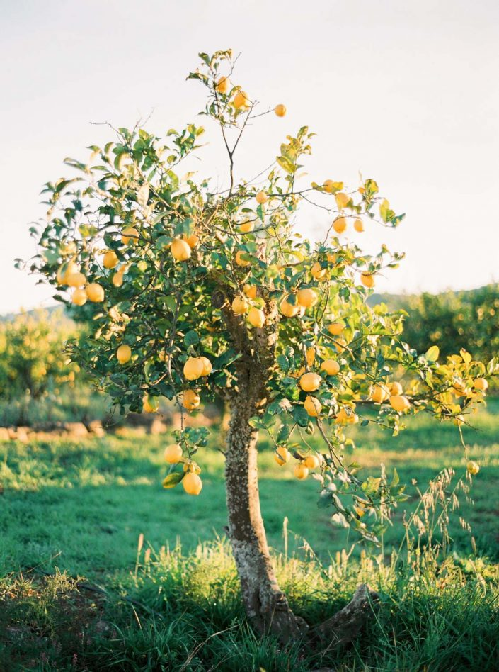 Film photography in Ibiza. Beautiful spring time in Balearic Islands . Lemon tree
