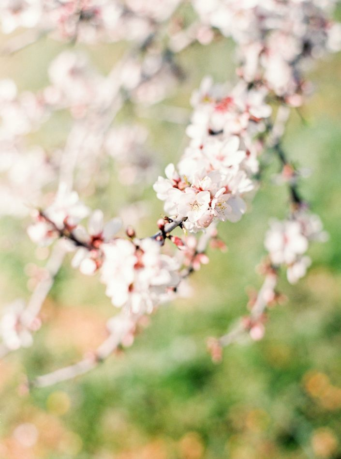 Almond blossoms in Mallorca and Ibiza, a very special time in February or March